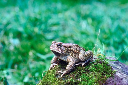 Toads Give You Warts