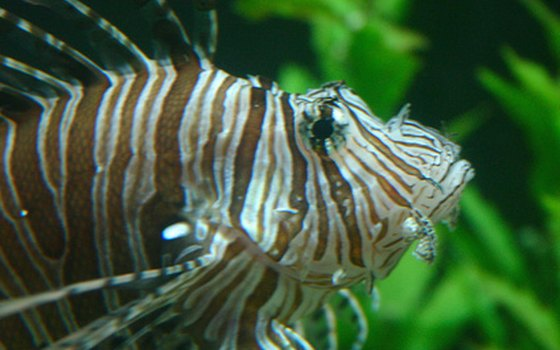 The lionfish is beautiful but extremely poisonous.