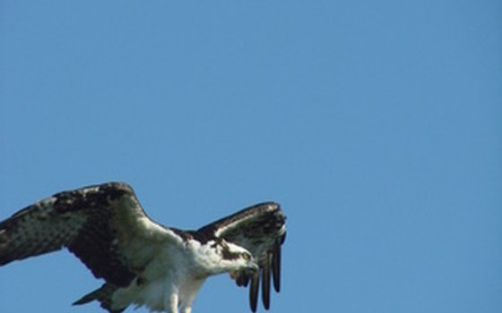 Ospreys are a common sight on the Eastern Shore.