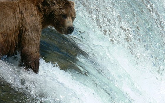 Brown bears roam many of Alaska's national parks, like Katmai.