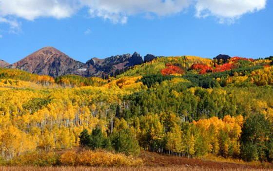 Aspen trees in the fall