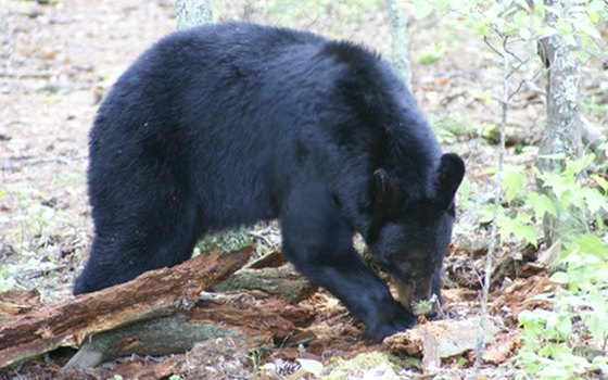 Black bears are shy but can attack if approached.