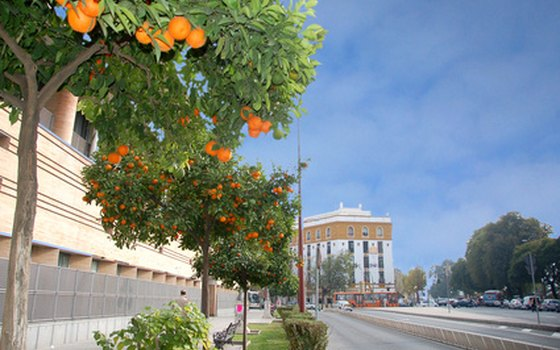 The streets of Seville are lined with orange trees