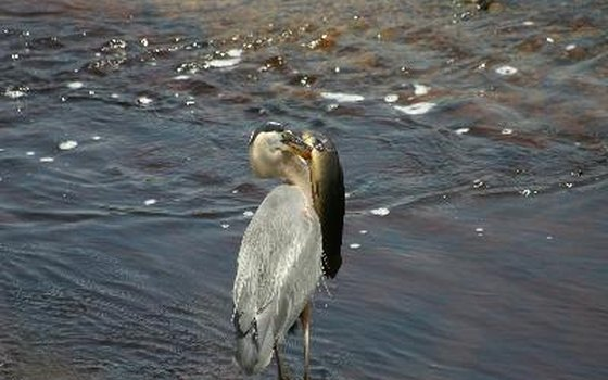 Watch for herons on a Niagara River ecological boat tour.