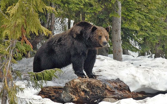 The grizzly bear sits at the top of the food chain in Denali.