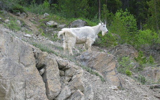 Mountain goats roam the high country of Olympic, Mount Rainier, North Cascades and Glacier national parks.