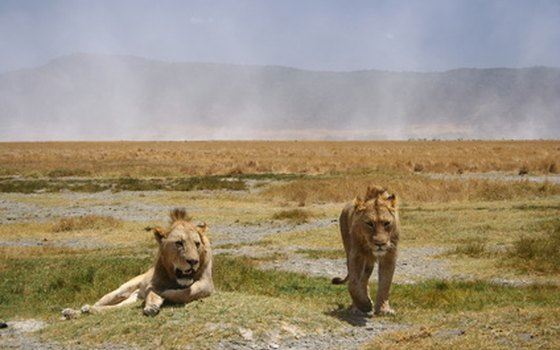 Lions are top-level carnivores in Africa's Serengeti National Park.