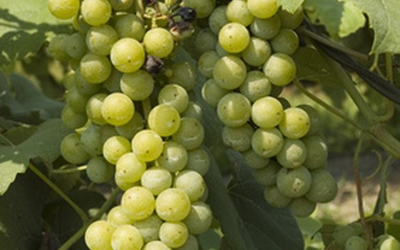 Wine grape production is an agricultural science called viticulture.