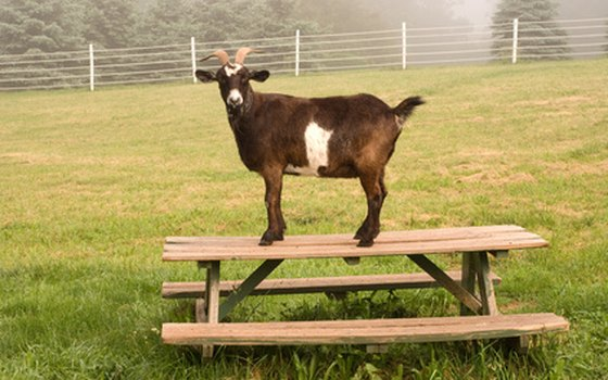 Picnic tables are available in each campground; goats not included.