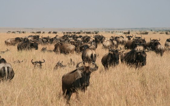 See the most wildebeest migrating across Kenya from August through October.