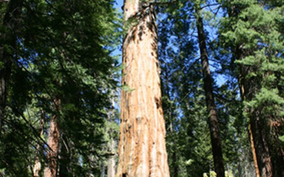 The massive size of the sequoia tree helps put us in perspective, as humans.