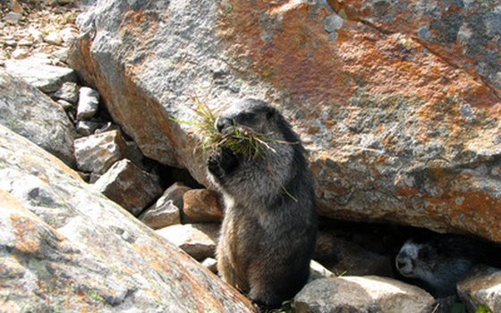 Marmots are among the many species of wildlife often spotted in the Canadian Rockies.