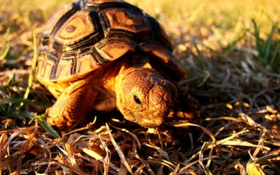 Seminole State Park is home to Georgia's state reptile, the gopher tortoise.