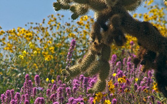 The desert is in bloom during the winter and spring.