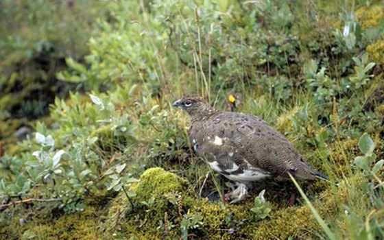 Denali is home to three species of ptarmigan.