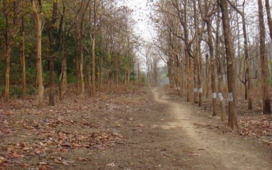 In some protected areas in India, like Corbett National Park, visitors might see Bengal tigers.