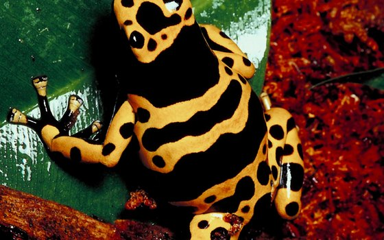 Poison dart frogs live in the Amazon Rainforest.