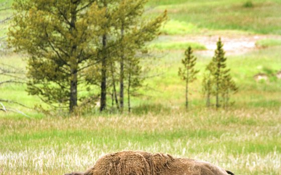 American bison roam widely in Yellowstone and Grand Teton national parks.