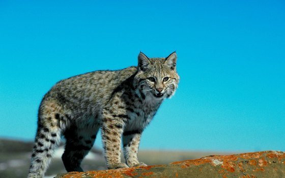Nearly anywhere in California, a lucky flatwater kayaker can glimpse a bobcat.