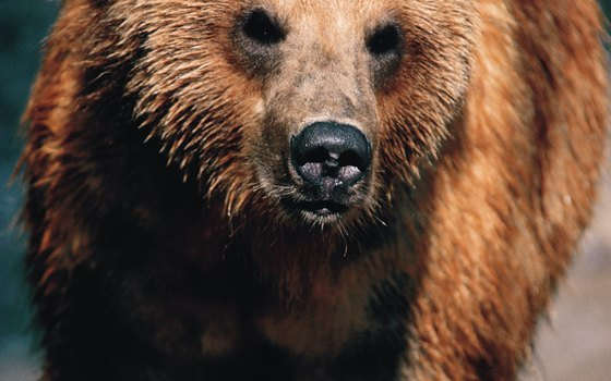 Brown bears are massive and omnivorous.