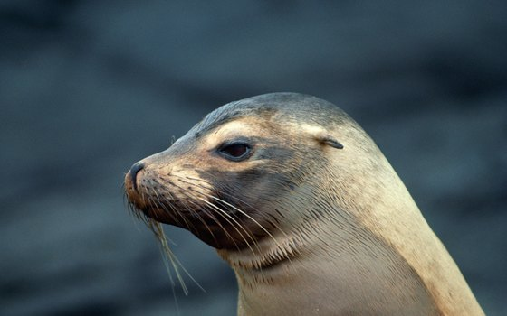 You can expect to see plenty of sea lions at their namesake caves north of Florence.