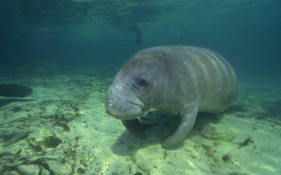 Many manatee make their homes in the Indian River Lagoon.