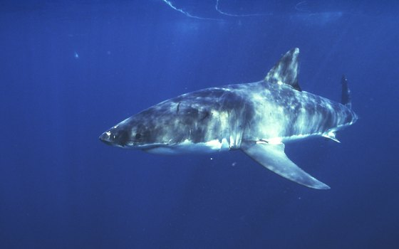 It's unlikely that a Malibu-area snorkeler would encounter a white shark, but the possibility exists.