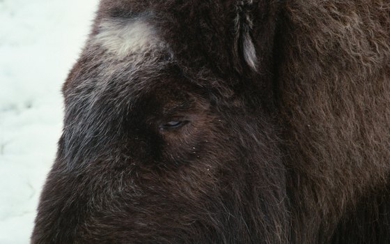 The muskox is common in Greenland.