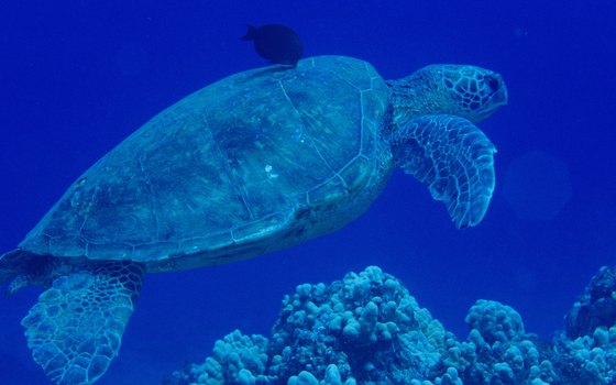 Sea turtles can be found swimming near Horseshoe Reef in the summertime.