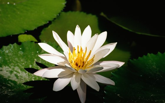 The lotus is the Indian National Flower.