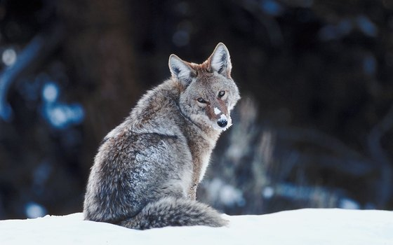 Eastern coyotes tend to be heavier than those in the West.