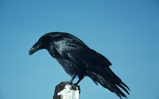 The glossy, big-beaked raven is unmistakable.