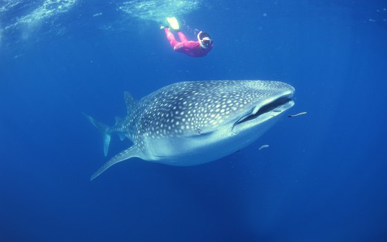 The whale shark poses no threat to humans.