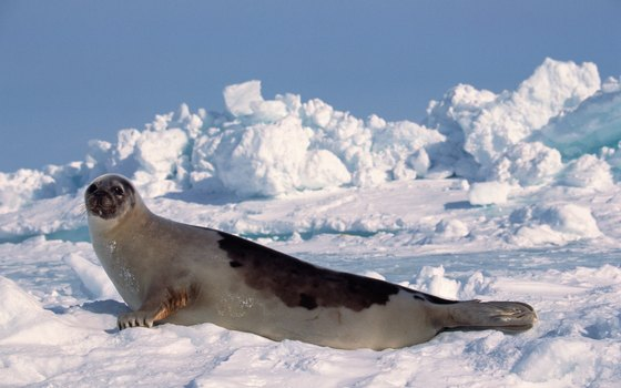 Harps seals are one of many warm-blooded animals that make their homes by the Arctic Ocean.