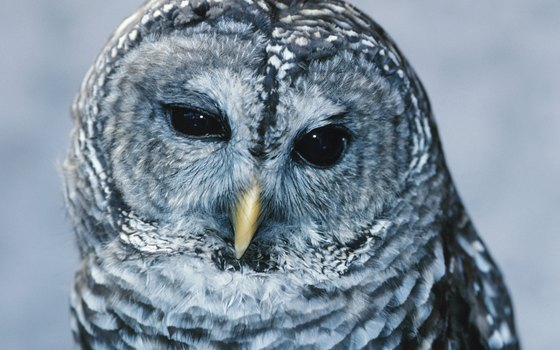 Barred owls are common swamp denizens in Louisiana.