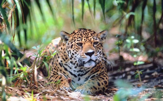 The jaguar is the dominant carnivore in both the Amazon and the Pantanal.