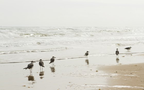 Sea gulls visit the beach at South Padre Island.