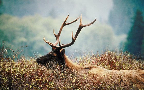 Roosevelt elk are huge temperate-rainforest deer of the Northwest Coast.