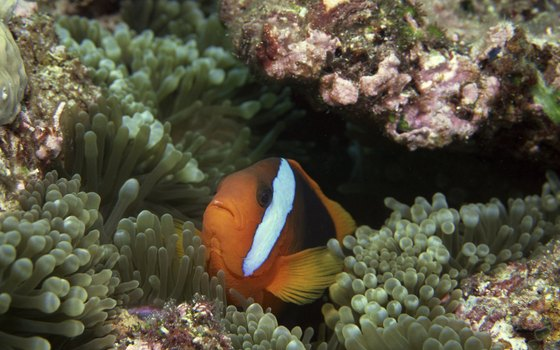 Clownfish can be seen while snorkeling Florida's Keys.