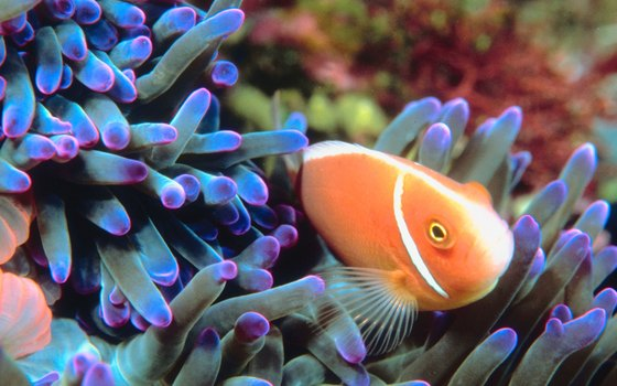 Clownfish are among the vibrantly hued tropical fish living within reef systems.
