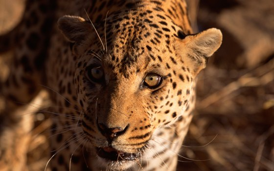 The African leopard is a top predator in the Congo rain forests.