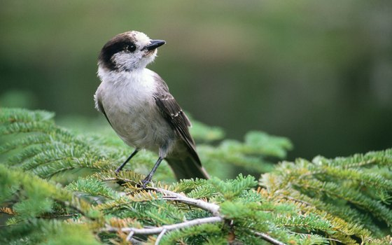 The gray jay is an inquisitive forager.