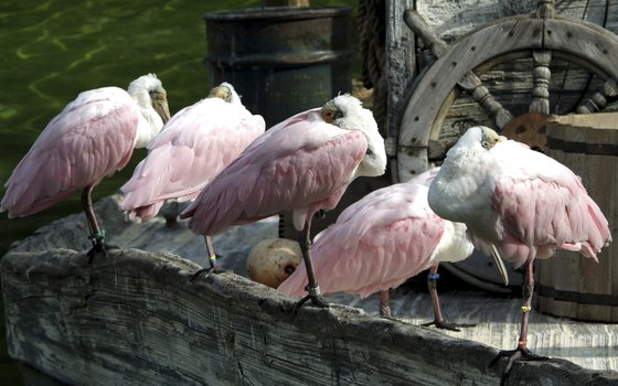 Roseate spoonbills are a common sight on Cedar Key, which is part of a National Wildlife Refuge.
