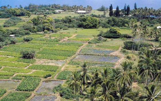 Taro farming has great cultural significance to the Hawaiian people.