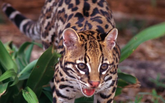 The Laguna Atascosa National Wildlife Refuge is home to the ocelot.