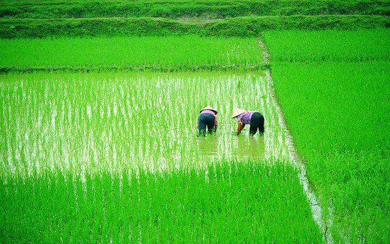 Enjoy the various shades of green of the rice paddies as the crops near harvest time.