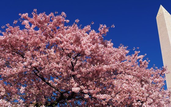 Cherry blossoms come out in Washington, D.C., in April.