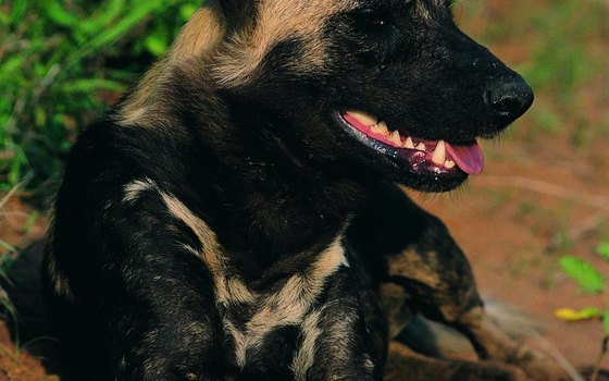 South Africa's Kruger National Park houses endangered animals like the African wild dog.