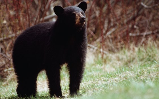 Bear sightings are common in the Ocala National Forest, so caution is advised.