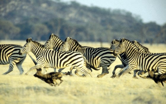 Endangered Animals in the Savanna | USA Today